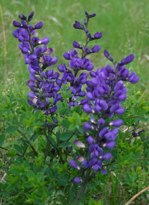 Baptisia Australis - Purple Smoke