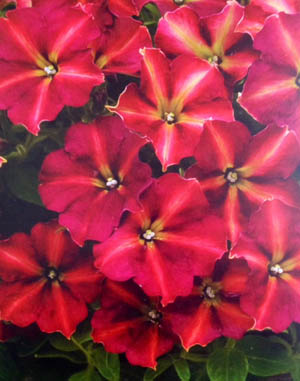 Petunia Glow Forest Fire