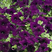 Petunia Ramblin' Nu Blue