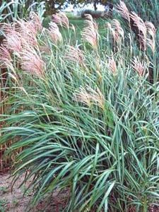 Vale 39 s greenhouse black diamond alberta your southern for Tall thin ornamental grasses