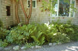 Be Warned Cutting The Fiddleheads Off Your Plants In The Spring Season Will  Leave Your Fern Bed Looking Ragged And The ...